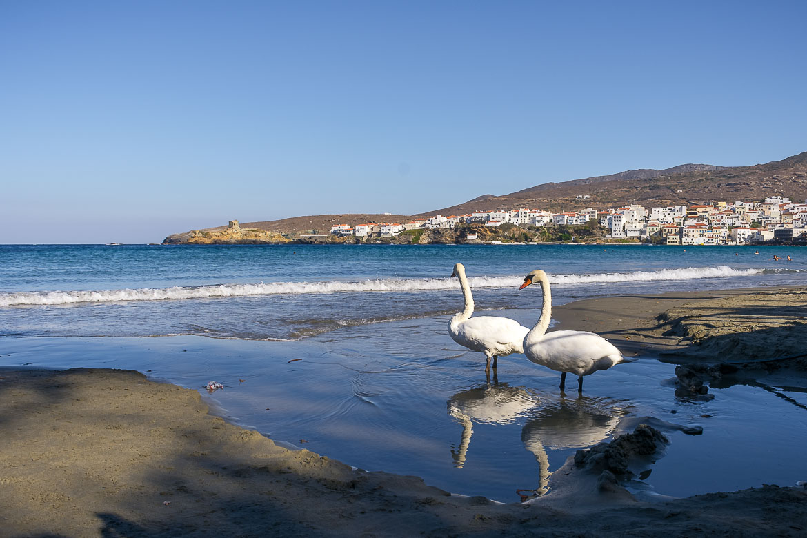 This image shows two swans walking on the sand at Nimporio beach. In the background, the gorgeous view to the neoclassical mansions that dot Andros Town (Chora).