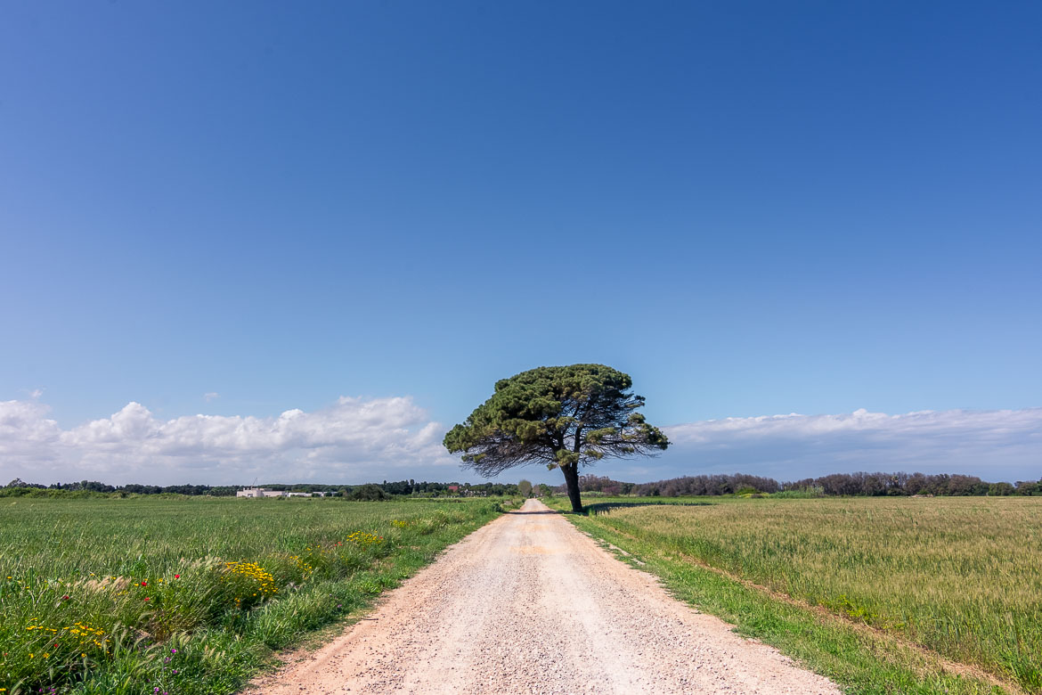 This photo shows a strada bianca, one of those iconic dirt roads of the Italian countryside. There is low vegetation on both sides of the road and a gorgeous lonely tree almost in the middle. This is what a Puglia road trip looks like.
