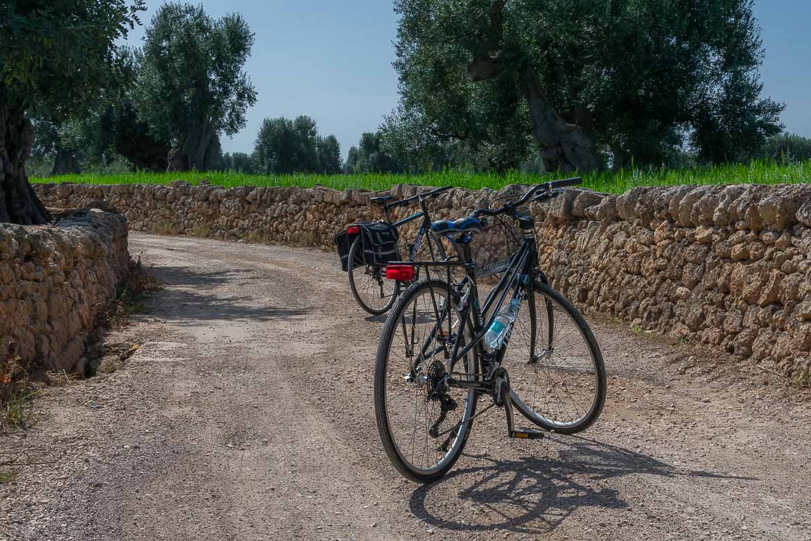 This photo shows two bikes on a dirt road next to ancient olive trees.