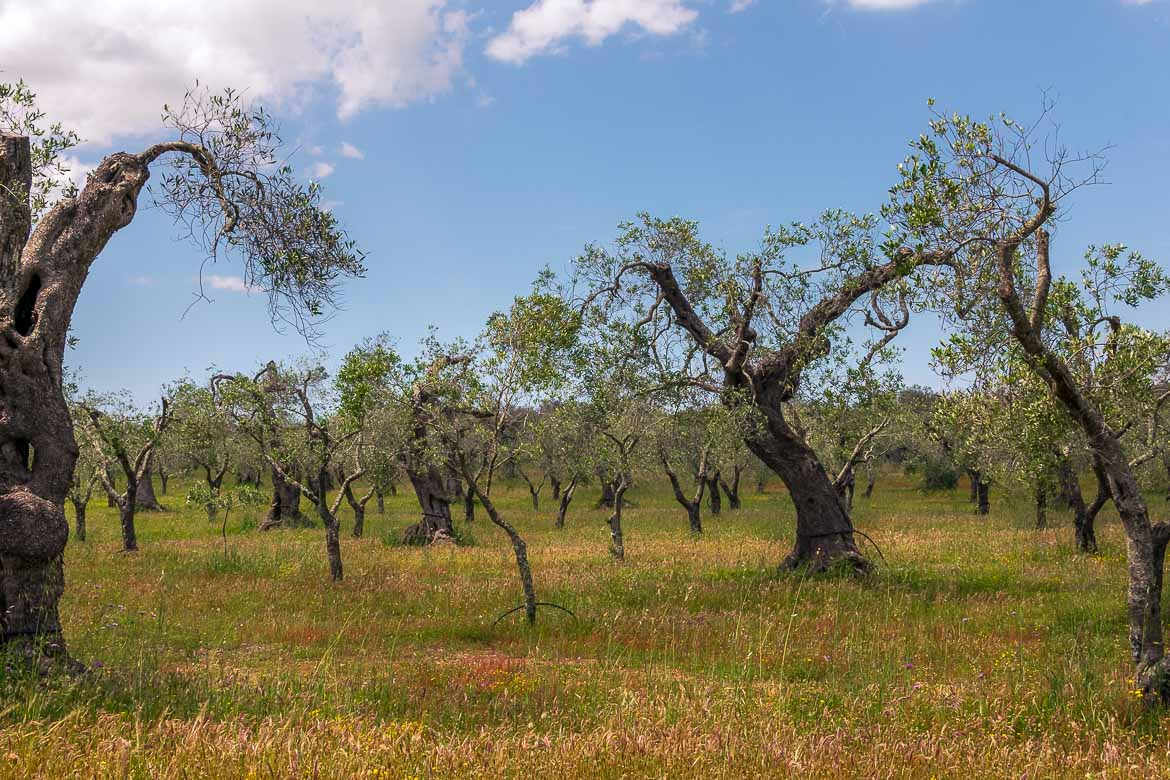 This image shows an olive grove in Puglia.