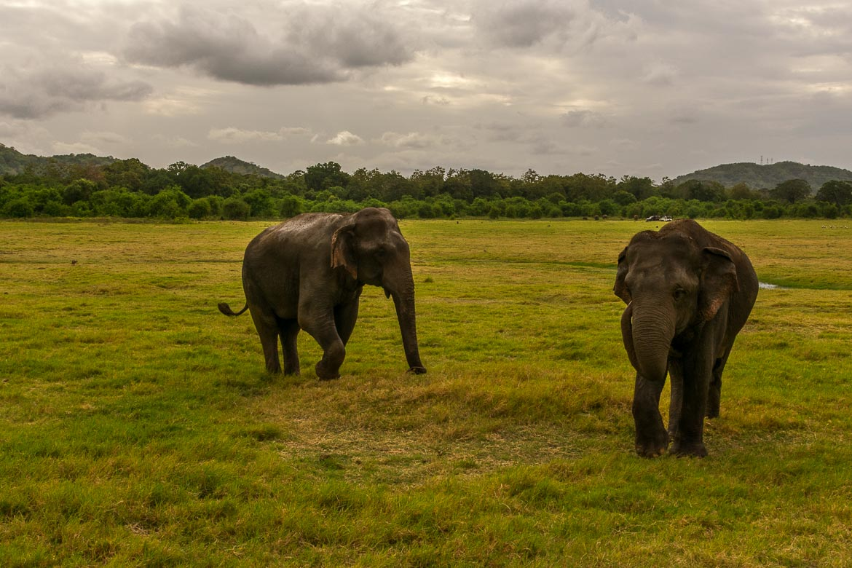 This photo shows elephants walking on fresh grass in Minneriya National Park Sri Lanka.