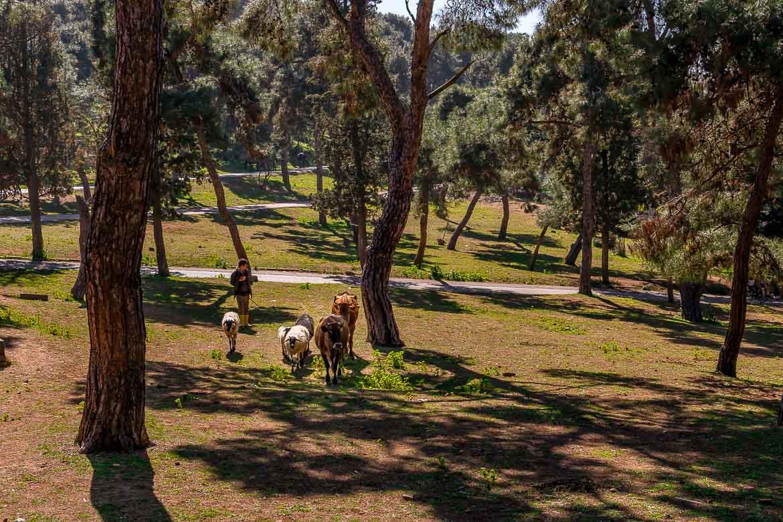 This photo shows a man leading four sheep and two cows near Birlik Meydani on Buyukada Island.