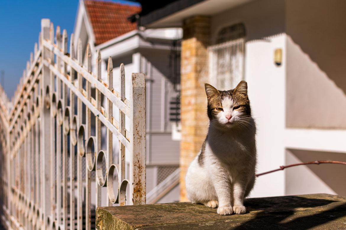 This image shows a white and brown cat posing for a photo in front of a wooden mansion on Buyukada Island.