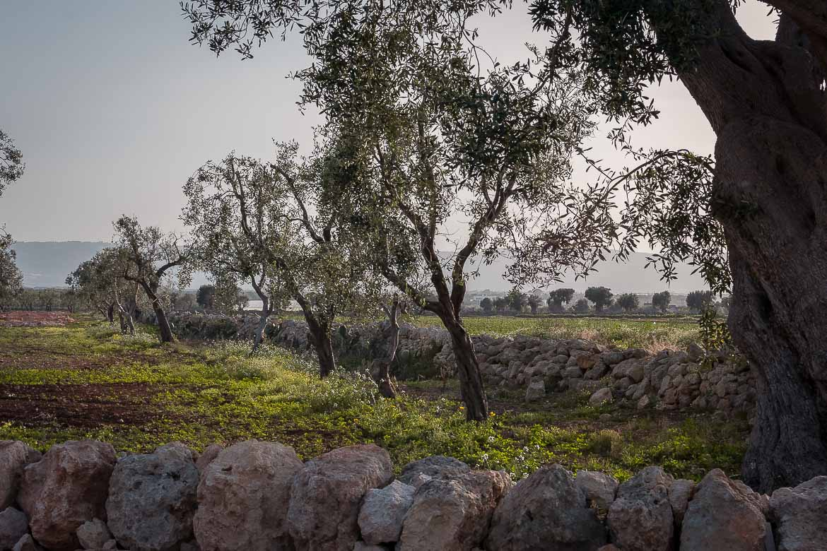 This image shows olive trees on the side of the road.