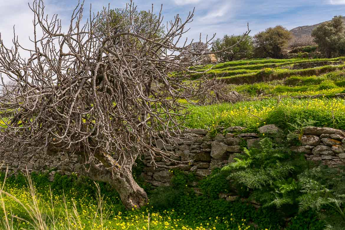 A snapshot of rural Andros. A lonely tree amidst fields of green. 13 unique things to do in Andros Greece and full Andros Guide.