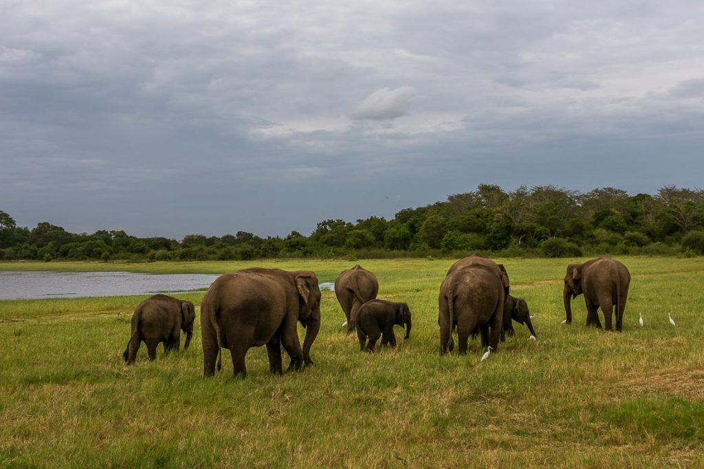 This photo shows many elephants feeding on fresh grass near the tank at Minneriya National park.