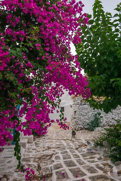 This is an image of a picturesque street inside the Castle of Antiparos. There is a huge fuchsia bougainvillea and a cat strolling around.