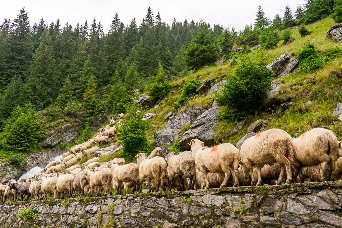 This photo shows a herd of sheep walking at the side of the Transfagarasan Road.