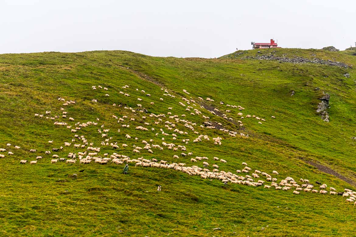 This photo shows a herd of sheep scattered on a green slope along the Transfagarasan Road grazing.