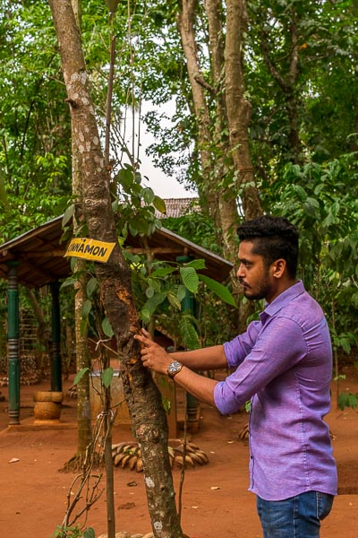 This photo shows a man at Highland Spice Garden standing in front of a cinnamon tree. He is showing the tree to us while explaining its benefits and uses.