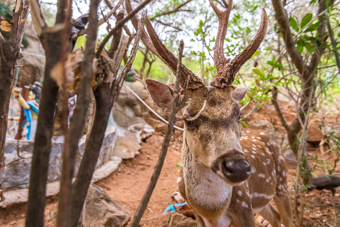 This is a close up of a dotted deer at Fort Fredrick. The deer is brown with white dots and super friendly.