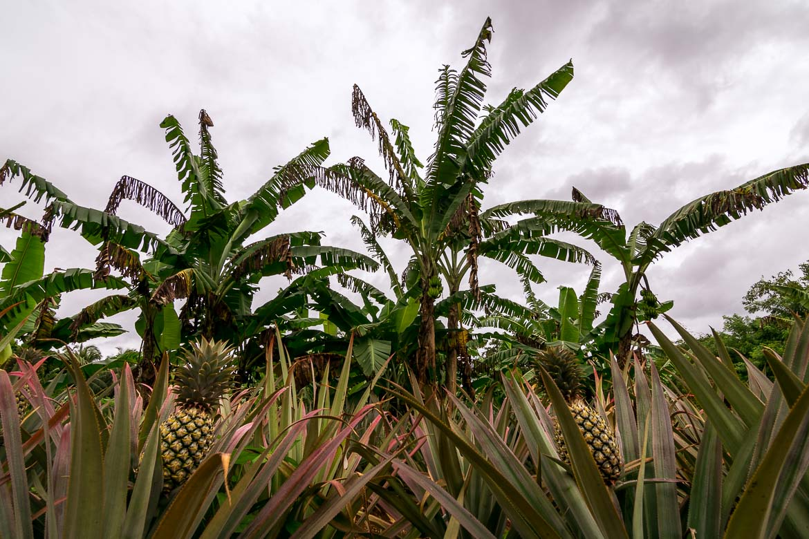 This image shows a pineapple plantation.