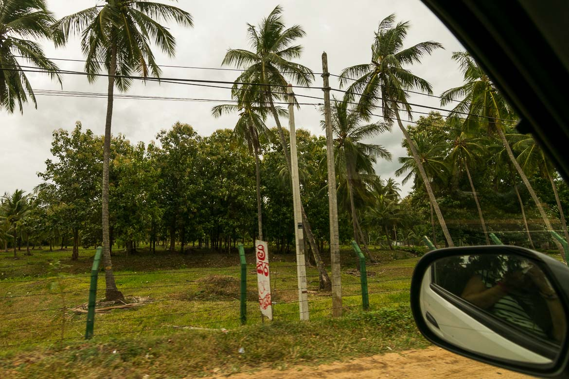 This photo was shot from inside the car on our way to Trinco. We can see many tall coconut trees.