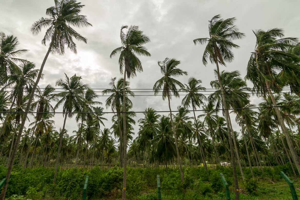 This is a forest of coconut trees.